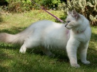 Teaching Cats to Walk On a Leash