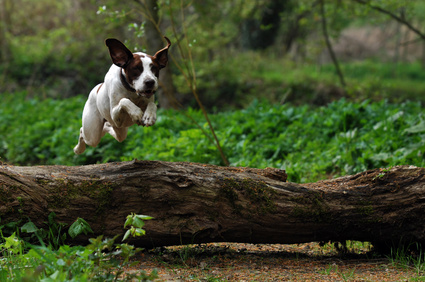 dog-jumping-log
