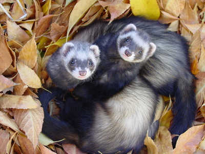 ferrets-in-leaves