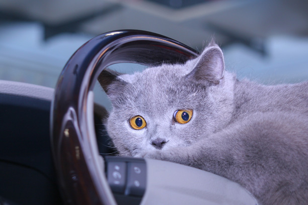 travel-cat-in-car