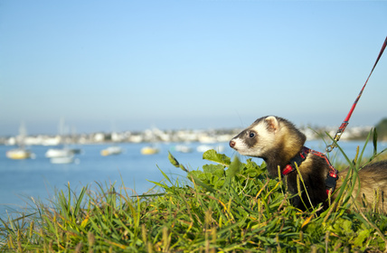 traveling-ferret-on-a-leash